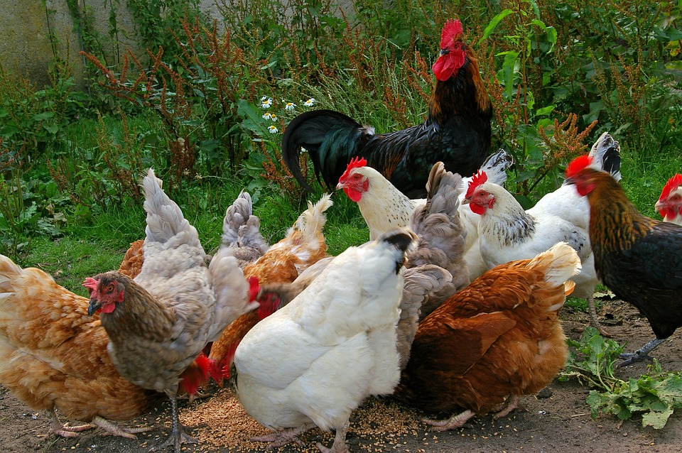 Bild mit einer Hühnerschar